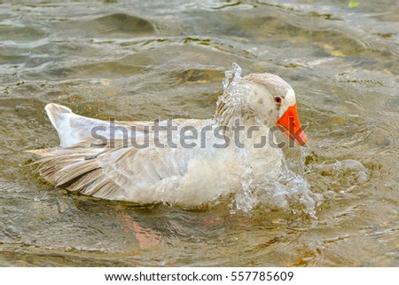 Greylag goose taking out the head of the water, goose, bird