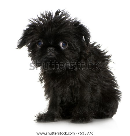 Griffon Bruxellois (3 months) in front of A white background