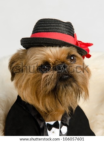 Griffon dressed like a bridegroom in tuxedo - stock photo