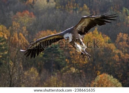 Griffon vulture - [Gyps fulvus]      - stock photo