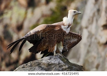 Griffon Vulture, Gyps fulvus, big birds of prey sitting on the stone. Vulture in the rock mountain. Vulture in the nature habitat, Spain. Rock mountain with big bird vulture. - stock photo