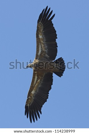 Griffon Vulture (Gyps fulvus) flying in central Spain - stock photo