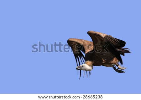 Griffon Vulture - Gyps fulvus in flight - stock photo