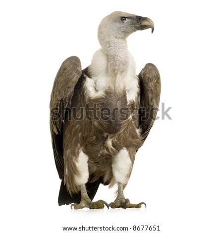Griffon Vulture - Gyps fulvus in front of a white background - stock photo