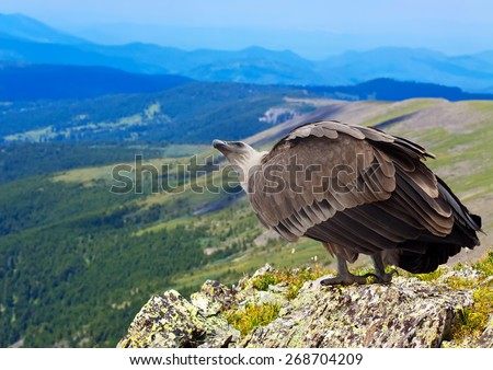 Griffon vulture (Gyps fulvus)  in wildness area - stock photo