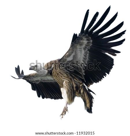 Griffon Vulture - Gyps fulvus isolated on white - stock photo