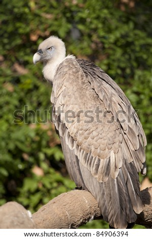 Griffon Vulture (Gyps fulvus) on a branch - stock photo