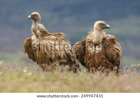 Griffon vulture ( Gyps fulvus ) perched on the floor - stock photo