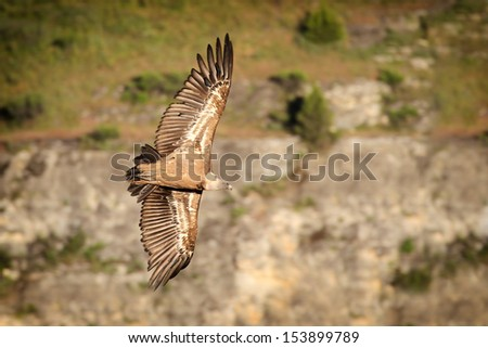 Griffon Vulture (Gyps fulvus) soaring on thermals - stock photo
