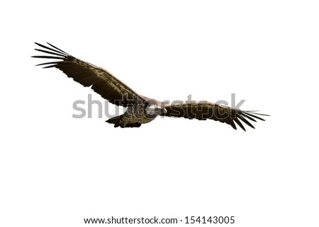 Griffon Vulture in flight on white background