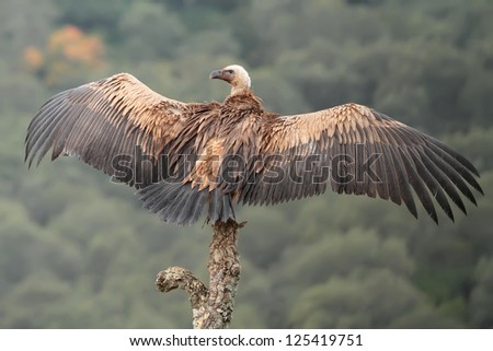 Griffon vulture in the dry tree - stock photo