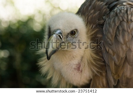Griffon Vulture in the shadow