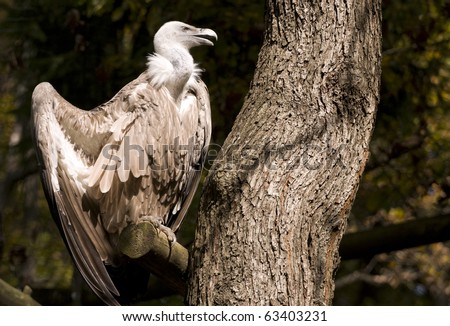 Griffon Vulture on the tree branch spreading his wings.