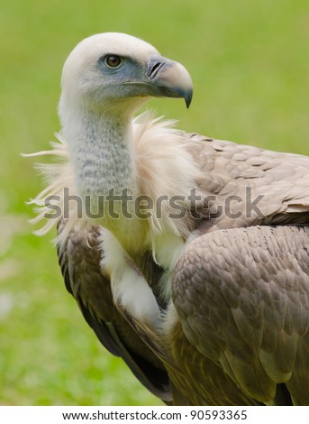 griffon vulture side view - stock photo