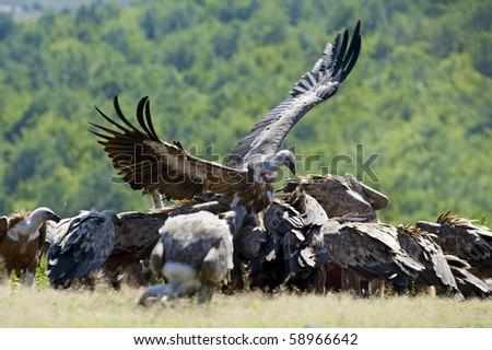 Griffon vultures eat - stock photo