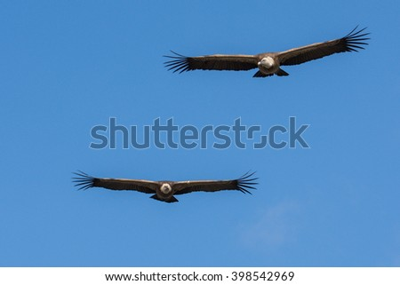 griffon vultures in flight