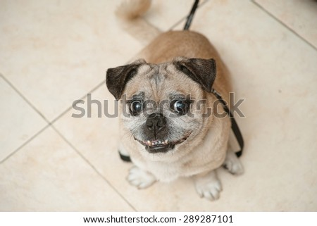 Grinning smiling cheeky pug begging for touch, funny face - stock photo
