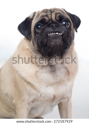 Grinning smilling cheeky pug begging for food - stock photo