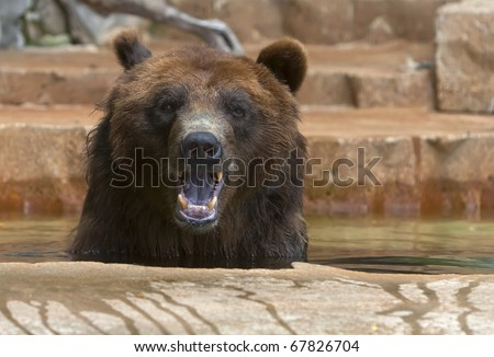Grizzlies are immense bears, weighing up to 1,400 pounds. They eat both plants and animals, and are very adept at fishing for salmon and trout. - stock photo