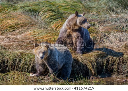 Grizzlies at the river