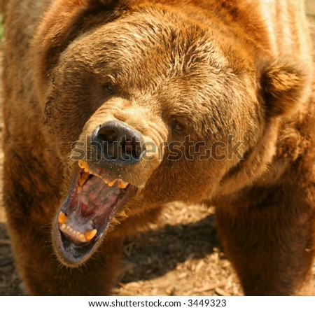 Bear Growl Stock Images, Royalty-Free Images & Vectors ...
