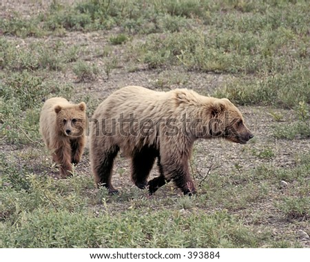 Grizzly Bear and Cub - stock photo