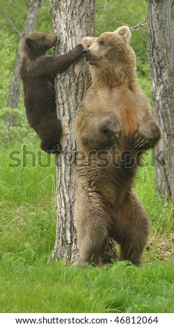grizzly bear and mom - stock photo