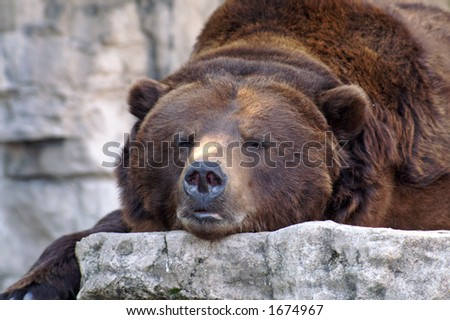 Grizzly Bear at St. Louis Zoo Missouri - stock photo
