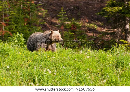 Grizzly bear, Banff National Park, Alberta