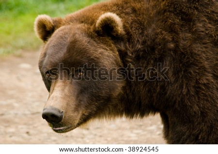 Grizzly Bear Close Up - stock photo