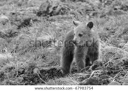 Grizzly Bear Cub in Black and White (also available in color) - stock photo