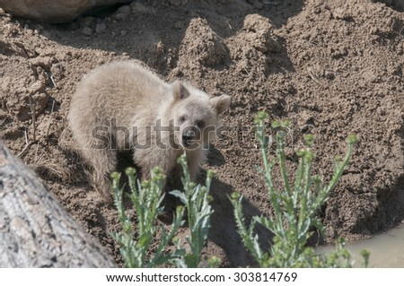 Grizzly bear cub looking at camera - stock photo