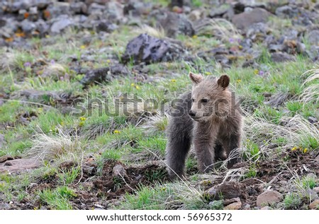 Grizzly bear cub looking downhill - stock photo