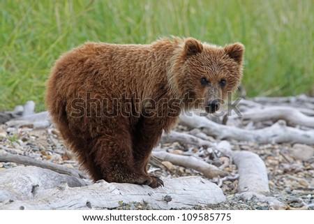 Grizzly Bear cub portrait. - stock photo