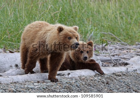 Grizzly Bear cubs low angle. - stock photo