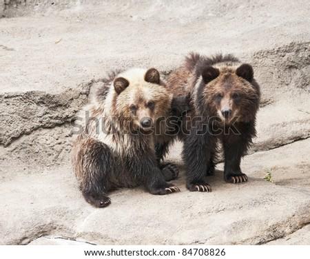 Grizzly Bear Cubs (Ursus arctos horribilis)  native to Northern continental U.S., Alaska, western Canada - stock photo