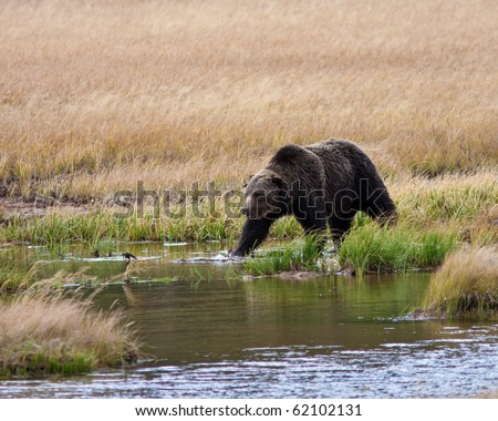 Grizzly bear during the fall season - stock photo