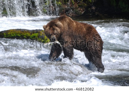 grizzly bear eating salmon - stock photo