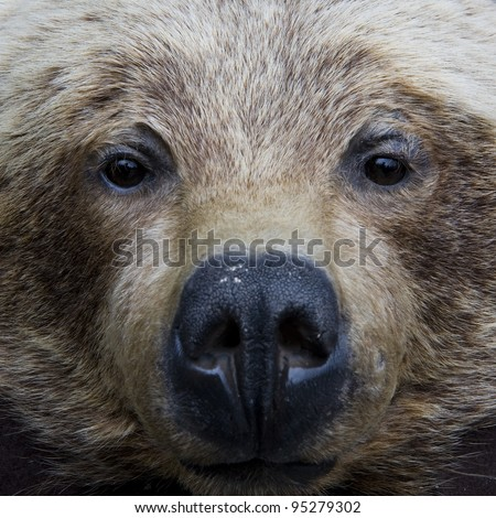 Grizzly bear face shot - stock photo