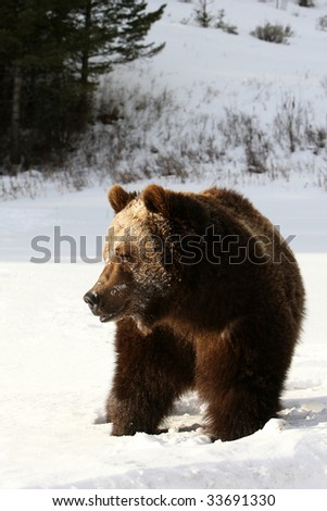 Grizzly Bear facing into the morning sun