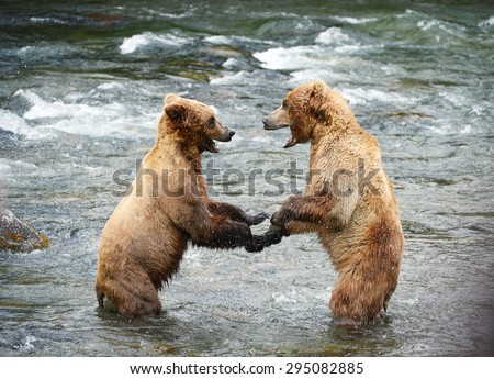 grizzly bear fighting in a river at katmai national park - stock photo