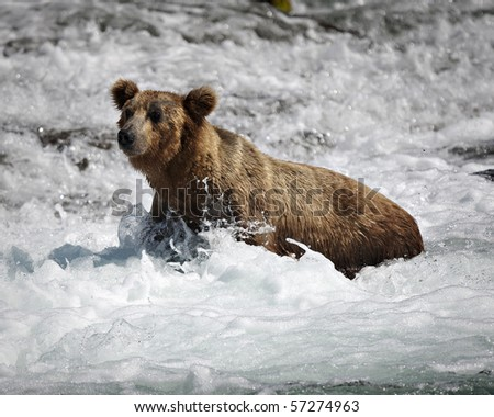 Grizzly bear fishing for Salmon at Brooks Falls on the Katmai Preserve in Alaska - stock photo