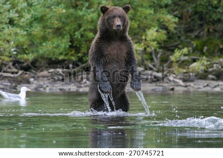 grizzly bear fishing in an alaskan stream - stock photo