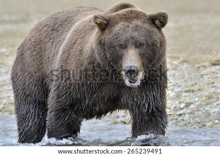 Grizzly bear fishing in water. - stock photo