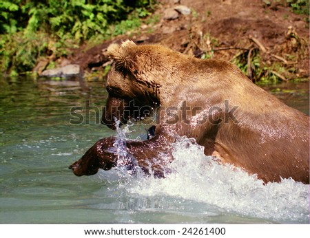 Grizzly Bear Fishing (Ursus arctos horribilis) - stock photo
