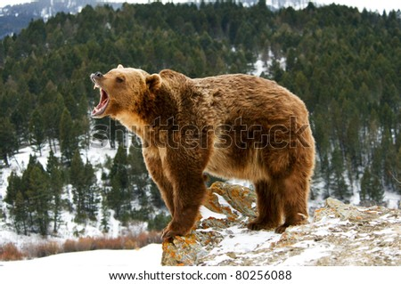 Grizzly bear growling on snowy cliff - stock photo
