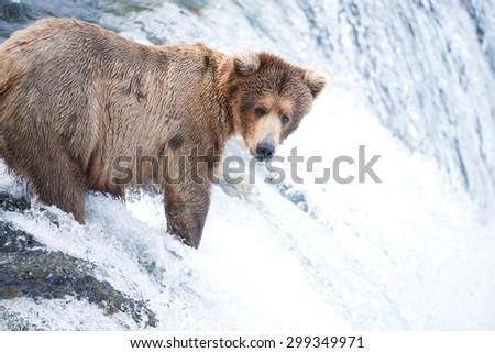 grizzly bear hunting for salmon in alaska - stock photo