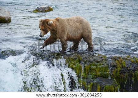 grizzly bear in brooks river hunting for salmon at katmai national park in alaska - stock photo
