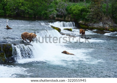 grizzly bear in brooks river hunting for salmon at katmai national park in alaska