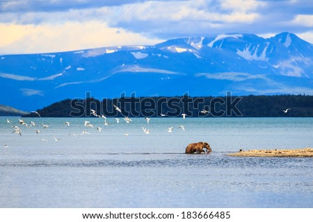 Grizzly bear in Katmai National Park - Alaska - stock photo